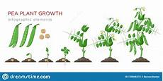 Pea Plant Growth Chart Pea Plant Growth Stages Infographic Elements In Flat