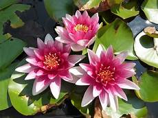 Flor De Lotus Flower Lily Lotus 183 Free Photo On Pixabay