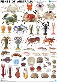 Shellfish Chart Australian Species Balgowlah Seafood