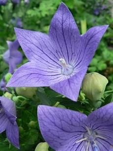 fiori da vaso perenni fiori da balcone perenni con piante da fioriera e piante