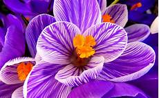 flower images hd wallpaper wallpaper crocus flower purple flower hd flowers 6730