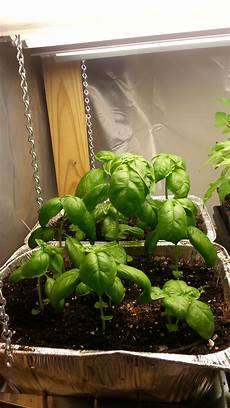 Basil Grow Light Growing Basil In A Grow Light And The In The Garden