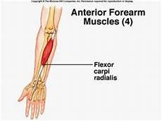 Fcr Tendon Lab Exercise 15 Muscles Anatomy Amp Physiology 101 With