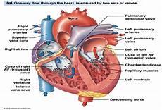 Chart Of Blood Flow Through Heart Chapter 14 Cardiovascular Physiology At Nova
