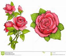 drawings of pink roses stock illustration illustration of