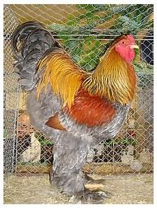 galline da cortile honest maverick un semplice pollaio oh no my