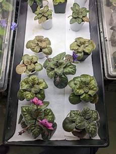African Violet Lighting Artificial Artificial Lighting For African Violet Plants Part I