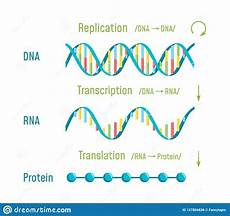 Transcription Biology Dna Replication Transcription And Translation Stock