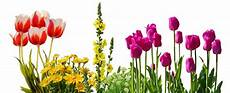 tulips flowers flower bed plant nature clean