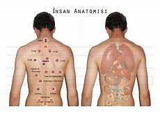 Hijama Cupping Points Chart Hijama Points Corresponding With Anatomy Of Organs