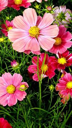 flower wallpaper pink cosmos flowers wallpapers hd wallpapers id 18557