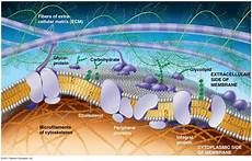 Membrane Structure And Function The Plasma Membrane Structure Anatomy Amp Physiology