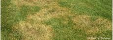 Brown Patch Grass Brown Patch Cool Season Grass Milorganite