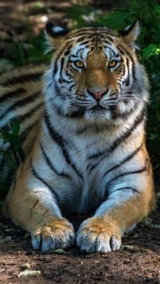 tiger wallpaper iphone 7 plus tiger 5k wallpapers hd wallpapers id 24264