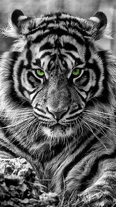 black and white tiger iphone wallpaper tiger iphone wallpaper