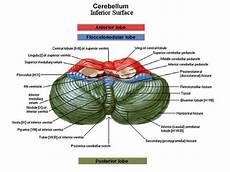 Cerebellum Anatomy Cerebellum Anatomy Google Search