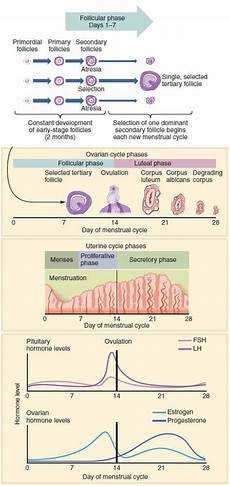 24 Day Menstrual Cycle Chart The Menstrual Cycle And Contraceptives A Complete Guide