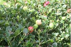 Bear Berry Bearberry Care Growing Bearberries In The Home Landscape