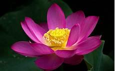 Flor De Lotus Pink Lotus Flower Close Up Green Leaves 2560x1600