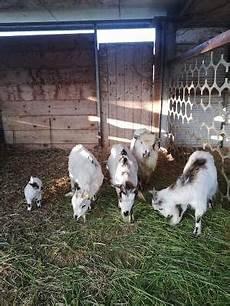 cerco animali da cortile caprini animali da cortile e stalla annunci animali