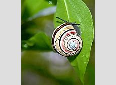 Painted snail Polymita picta   Art Kaleidoscope
