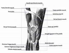 Knees Ligaments And Tendons Muscles In The Knee
