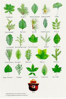 Oak Leaf Id Chart 17 Best Images About Trees On Pinterest Trees And Shrubs