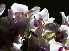 orchidee fiori appassiti come potare le orchidee pollicegreen