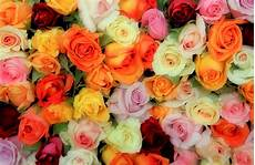 bed of roses photograph by tony grider