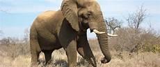 Malvorlage Afrikanischer Elefant Afrikanischer Elefant Elefanten In Afrika