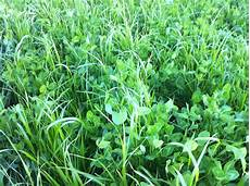 Fescue Hay Frost Seeding Red Clover In Hay Fields And Pastures 171 On