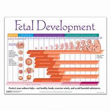 Fetal Growth Chart During Pregnancy Weekly Fetal Development Chart Childbirth Graphics
