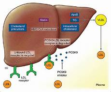 Statin Mechanism Of Action View Image