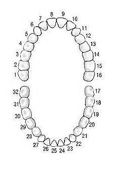 Tooth Number Chart Adults 17 Best Images About Dental On Pinterest Image Search