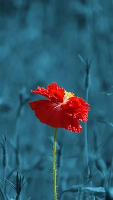 poppy flower wallpaper iphone ultra hd poppy flower wallpaper for your mobile phone