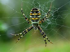Treknature Argiope Bruennichii Photo