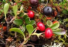 Bear Berry Bearberry Wild Flower Finder