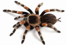 Tarantula Chart Spider Proteins Offer New Insight Into Human Heart