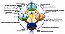 Circadian Rhythm Chart How To Cure Insomnia Naturally Including Rare Powerful