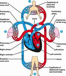 Circulatory System Organs What Is The Function Of The Circulatory System Quora
