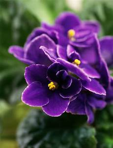 African Violet Lighting Artificial Top 10 Tips On How To Take Care For African Violets Top