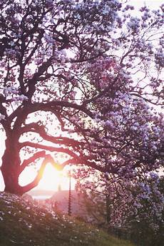 iphone wallpaper hd cherry blossom 46 cherry blossom wallpaper for iphone on wallpapersafari