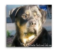 Rottweiler Growth Chart Rottweiler Growth Chart Know What To Expect As Your