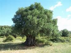 sempreverdi da giardino alberi sempreverdi da giardino alberi sempreverdi per