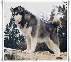 Alaskan Malamute Height And Weight Chart Height And Weight Alaskan Malamutes