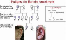 Pedigree Chart For Free Or Attached Earlobes Mendelian Inheritance In Humans Ck 12 Foundation