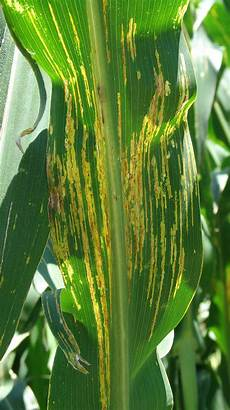 Leaf Blight Bacterial Leaf Streak Cropwatch