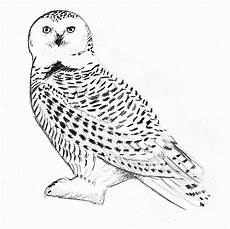 harry potter hedwig drawing at getdrawings free