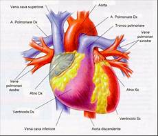cuore e vasi anatomia e fisiologia cuore fisiologicamente