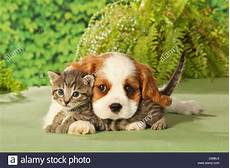 animal friendship cavalier king charles spaniel puppy